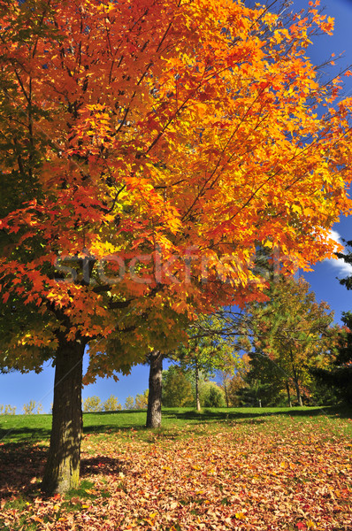 Autumn maple tree Stock photo © elenaphoto