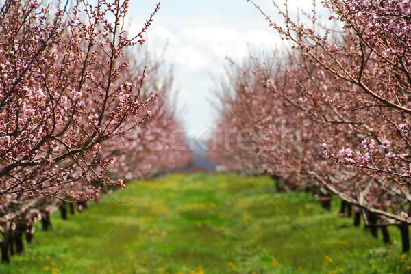 Fioritura pesca primavera fiori giardino Foto d'archivio © elenaphoto