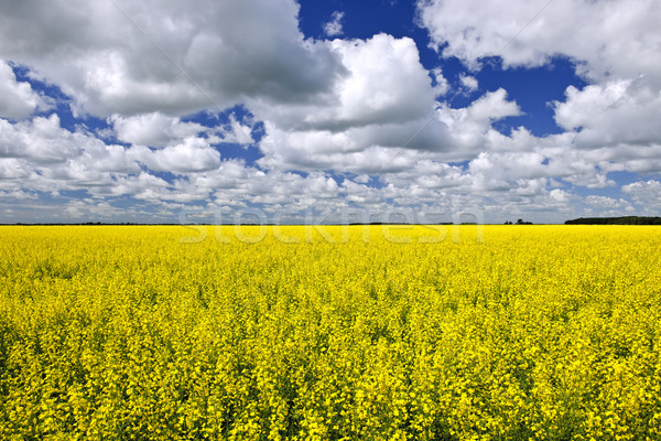 Canola field Stock photo © elenaphoto