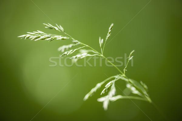 цветения трава зеленый макроса природного Сток-фото © elenaphoto