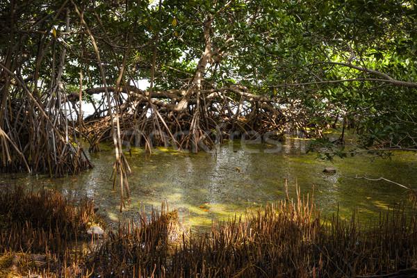 Sunlight in mangrove forest Stock photo © elenaphoto
