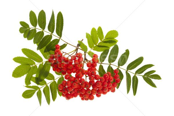 Stock foto: Berg · Esche · Beeren · Haufen · rot · grüne · Blätter