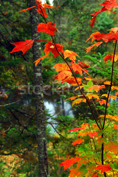 Fall forest and river Stock photo © elenaphoto