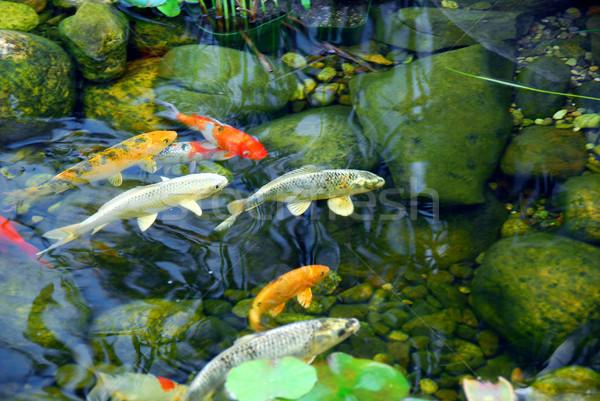 ニシキゴイ 池 魚 自然 石 水 ストックフォト © elenaphoto