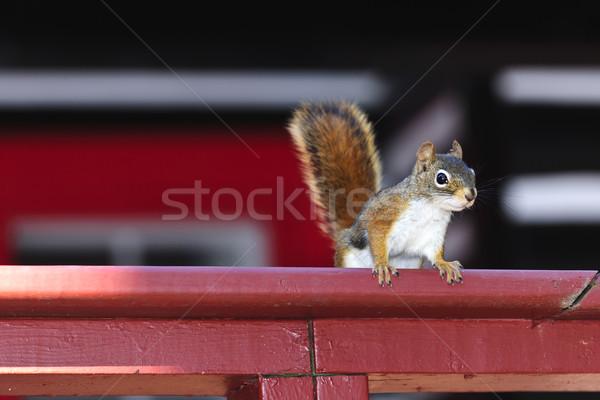 Tree squirrel on red railing Stock photo © elenaphoto