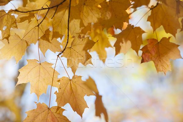 Backlit maple leaves in fall Stock photo © elenaphoto