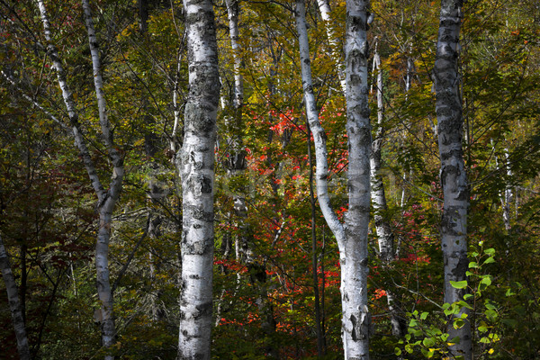 Birches Stock photo © elenaphoto