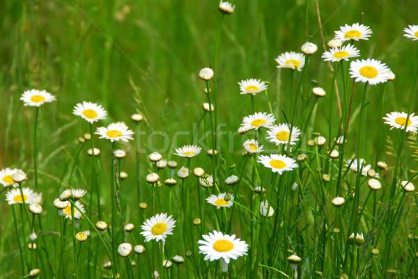 Сток-фото: Ромашки · растущий · зеленый · области · цветы
