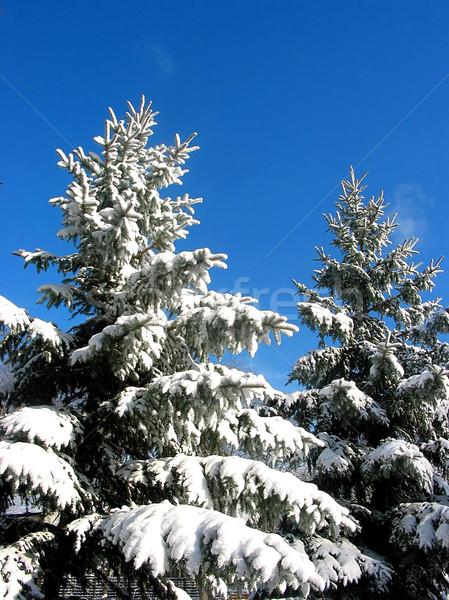 Winter fir trees under snow  Stock photo © elenaphoto