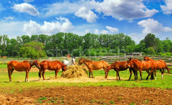 Horses at the ranch Stock photo © elenaphoto