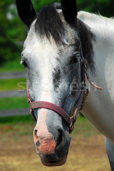 Horse Stock photo © elenaphoto