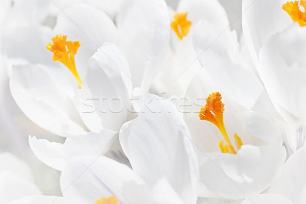 Fehér kikerics virágok közelkép gyönyörű virágok Stock fotó © elenaphoto