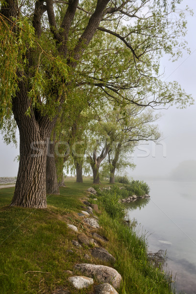 Old trees on foggy shore Stock photo © elenaphoto