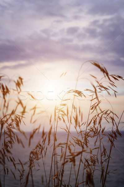Tall grass at sunset Stock photo © elenaphoto