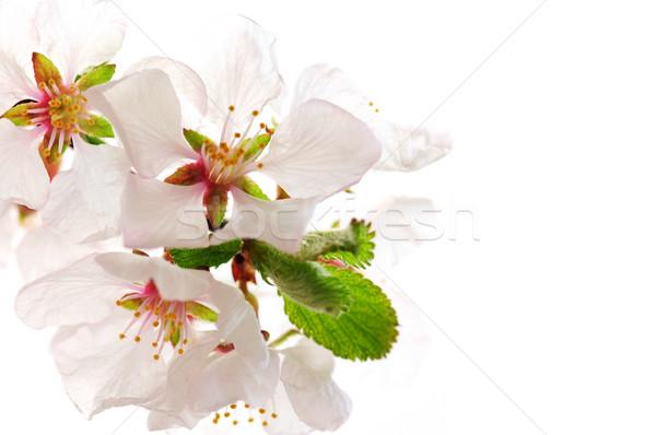 Roze kersenbloesem macro geïsoleerd witte Stockfoto © elenaphoto