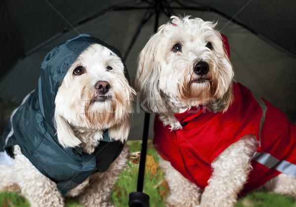 Dressed up dogs under umbrella Stock photo © elenaphoto