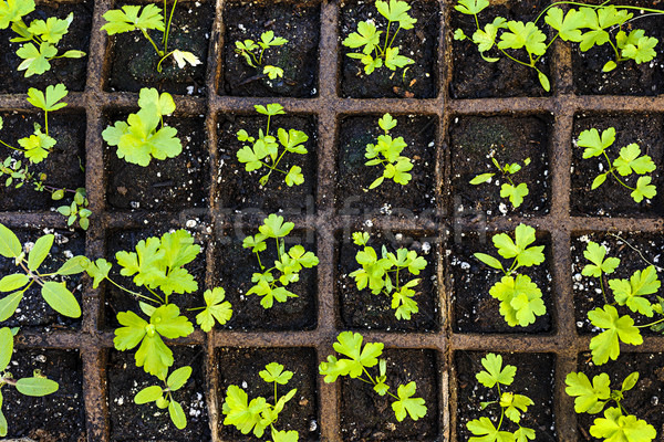 Seedlings growing in starter tray Stock photo © elenaphoto