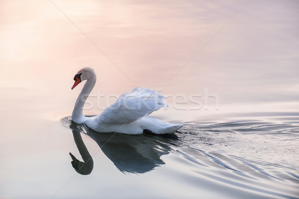 Sunset swan Stock photo © elenaphoto