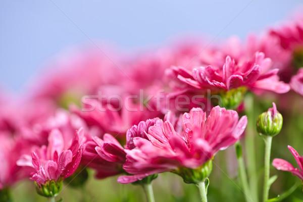 Pink mums Stock photo © elenaphoto