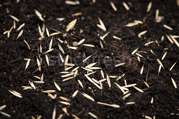 Grass seeds in soil Stock photo © elenaphoto