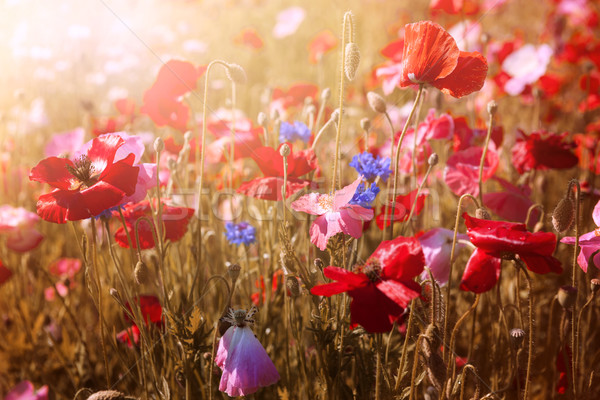 Poppies in sunshine Stock photo © elenaphoto