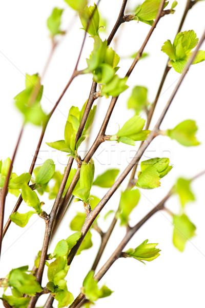 Groene voorjaar bladeren jonge geïsoleerd Stockfoto © elenaphoto