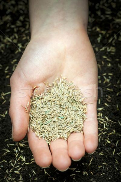 Hand holding grass seed Stock photo © elenaphoto