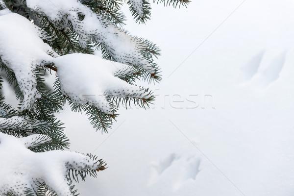 Hó tél örökzöld ágak fa bolyhos Stock fotó © elenaphoto