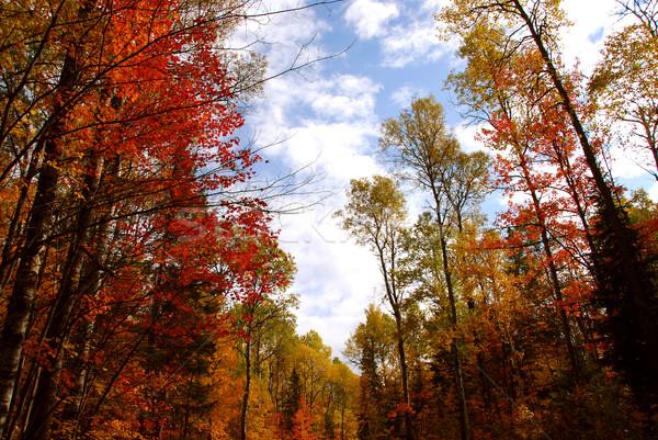 Fall forest Stock photo © elenaphoto