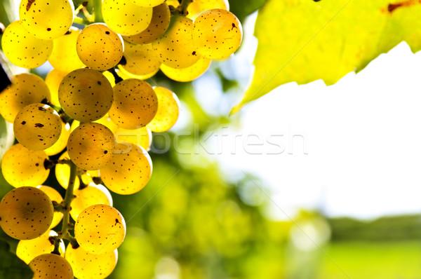 Gelb Trauben zunehmend Reben hellen Sonnenschein Stock foto © elenaphoto