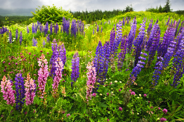Ньюфаундленд пейзаж цветы Purple цветок Сток-фото © elenaphoto