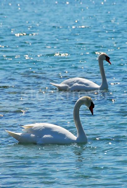 Pair of swans Stock photo © elenaphoto