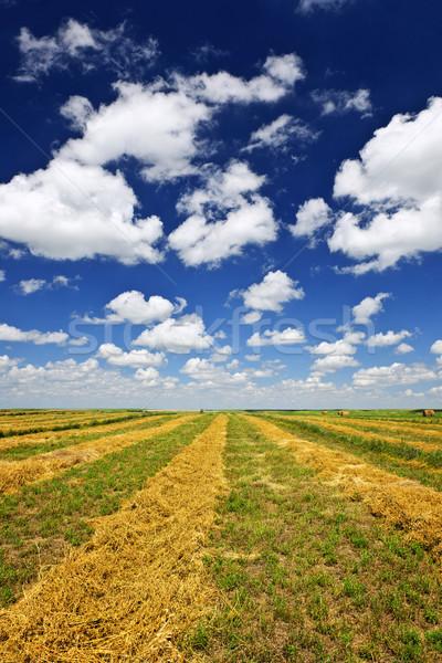 Wheat farm field at harvest Stock photo © elenaphoto