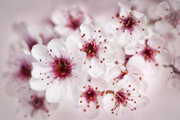 Cherry blossoms Stock photo © elenaphoto