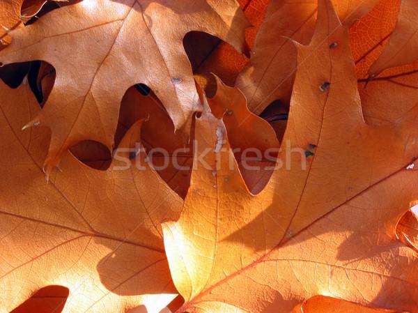 Closeup on sunlit oak leaves Stock photo © elenaphoto