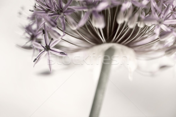 Flowering onion flower Stock photo © elenaphoto