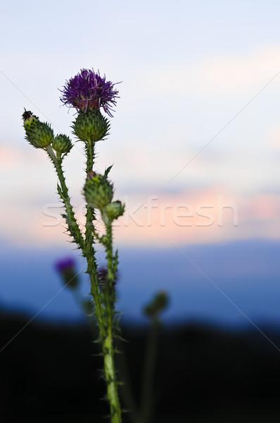 Sunset with thistle flower Stock photo © elenaphoto