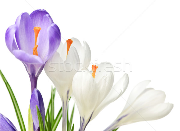 Spring crocus flowers Stock photo © elenaphoto