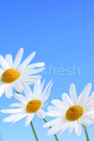 Stock foto: Gänseblümchen · Blumen · blau · Makro · hellblau · Himmel