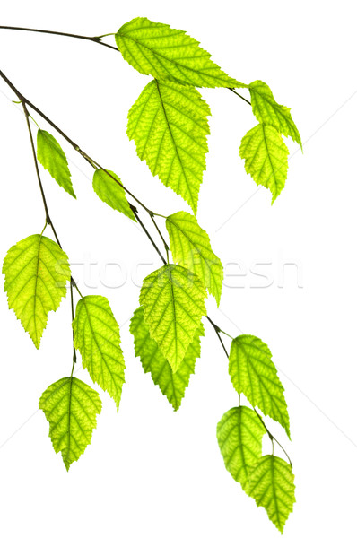 Stock photo: Branch with green leaves