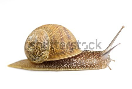 Snail crawling forward Stock photo © elenaphoto