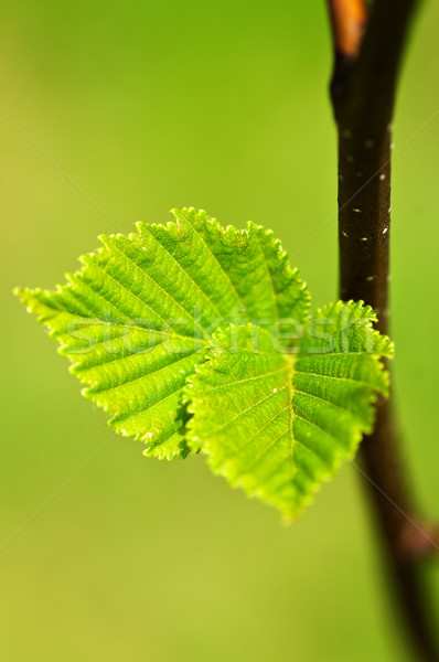 Yeşil bahar yaprakları yeni hayat temizlemek çevre Stok fotoğraf © elenaphoto