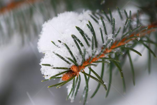 Spruce branch with snow Stock photo © elenaphoto