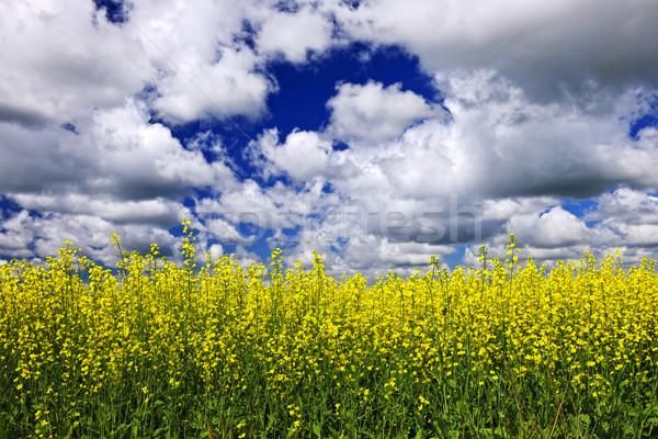 Stock photo: Canola field