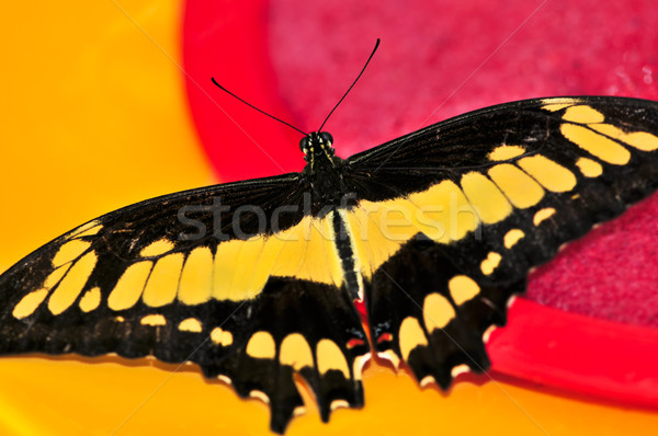 Giant swallowtail butterfly Stock photo © elenaphoto