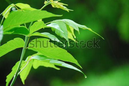 Photo stock: Feuille · verte · pluie · macro · jeunes · feuilles · vertes · suspendu