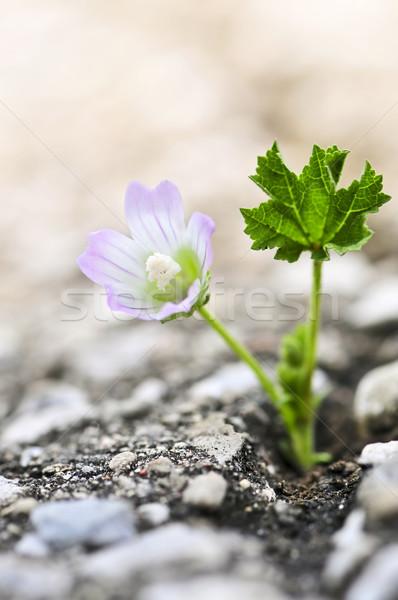 Stock photo: Flower growing from crack in asphalt