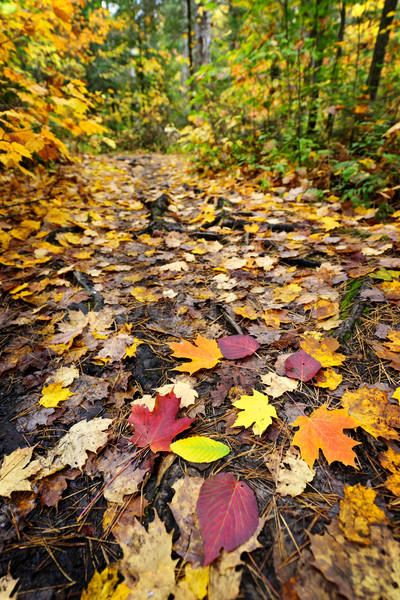 Path in fall forest Stock photo © elenaphoto
