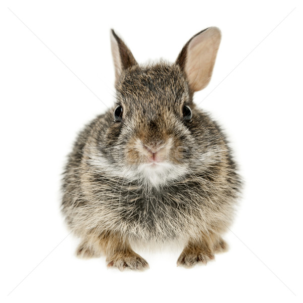 Baby cottontail bunny rabbit Stock photo © elenaphoto