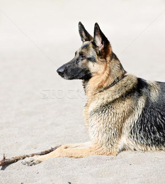 German Shepherd dog on beach Stock photo © elenaphoto